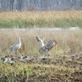 Sandhill cranes. Taken November 3, 2019 Green Island, Iowa by Linda Goodman.