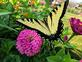 Yellow Swallowtail. Taken Late August In my garden by Stephanie Beck.