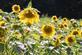 Sunflowers glow in the sun. Taken August 8th Vinton, Iowa by Lorlee Servin.