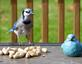Bluejay discovers peanuts, not sure about a blue bird statue. Taken October 19, 2016 Backyard by Deanna Tomkins.