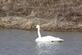 Trumpeter swan swims in a pond.. Taken March 11, 2017 Maquoketa, Iowa by Veronica McAvoy.