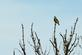 A medowlark sits on top of a tree singing in the morning.. Taken May 25, 2020 Bergfeld  pond, Dubuque co., IA by Veronica McAvoy.