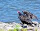 Vulture lands on the river's shoreline. Taken August 13, 2019 Near Lock and Dam No. 11, Dubuque  by Deanna Tomkins.