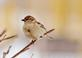 A house sparrow rests on a branch.. Taken February 20, 2021 Bergfeld  pond, Dubuque co., IA by Veronica McAvoy.