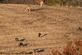 Deer & turkeys snacking in the field. Taken November 2019 Durango, Iowa by Tricia Firzlaff.