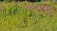 Purple loosestrife and brown-eyed Susan's bloom in a marsh.. Taken July 4, 2021 John Deere Marsh, Dubuque, IA by Veronica McAvoy.