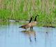Two Canada geese wade in a marsh.. Taken May 25, 2020 John Deere Marsh, Dubuque, IA by Veronica McAvoy.