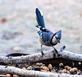 Bluejay stops in for a peanut treat. Taken December 16, 2018 Backyard, Dubuque by Deanna Tomkins.