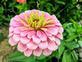 Pretty in Pink zinnia. Taken 9/25/19 In my garden by Stephanie Beck.