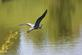 Blue Heron flying at Bergfield pond. Taken May, 2016 Bergfield pond by Veronica McAvoy.