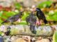 Blackbird parent has two very demanding youngsters wanting a meal. Taken June 6, 2021 Backyard, Dubuque  by Deanna Tomkins.