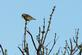 A meadowlark rests on top of a tree.. Taken May 25, 2020 Bergfeld  pond, Dubuque co., IA by Veronica McAvoy.