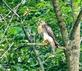 A Red-Tailed Hawk strikes a regal pose alongside a country road. Taken August 5, 2021 Dubuque County by Deanna Tomkins.
