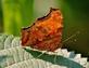 A question mark butterfly takes a break.. Taken July 15, 2021 John Deere Marsh, Dubuque, IA by Veronica McAvoy.