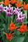 Tulips bloom. Taken in April in E. Dubuque by Lorlee Servin.
