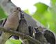 Mourning dove family greet each other in tree. Taken August 11, 2016 Backyard by Deanna Tomins.