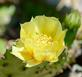 Winter hardy cactus blooms. Taken June 18, 2016 Garden by Deanna Tomkins.