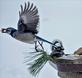 Bluejay taking off with a treasured peanut. Taken January 18, 2019 Dubuque by Deanna Tomkins .