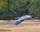 Great Blue Heron in flight. Taken May 8, 2016 Maus Park by Deanna Tomkins.