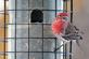 A finch hangs out at the feeder. Taken February 10th in my yard in Dubuque by Lorlee Servin.