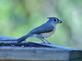 A tufted titmouse balances a seed in it's beak.. Taken October 30, 2020 Swiss Valley nature center, Dubuque co., IA by Veronica McAvoy.