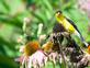 Goldfinch enjoying seeds from a Coneflower. Taken August 13, 2019 Dubuque  by Deanna Tomkins.