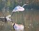 Great White Egret takeoff. Taken October 27, 2019 Mud Lake, Dubuque County by Deanna Tomkins.