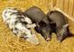 Three pigs resting.. Taken October 5, 2019 Near Bellevue, Iowa by Veronica McAvoy.