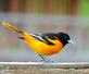 Baltimore Oriole on fence. Taken May 14, 2016 Backyard, Dubuque by Deanna Tomkins.
