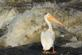 Turbulent water near the dam sprays up on a pelican as he stands on cement.. Taken June 12, 2017  O' Leary's Lake by Veronica McAvoy.