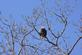 American bald eagle sits atop a large tree.. Taken January 20, 2018 Olde Massey Road, Dubuque, IA by Veronica McAvoy.