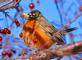 """Robin that didn't get the """"Fly South for Winter,"""" memo. Taken January 23, 2016 Grand Harbor area, Dubuque by Deanna Tomkins."""