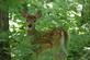 A fawn stops to look at photographer.. Taken August 8, 2017 Four Mounds, Dubuque, IA by Veronica McAvoy.
