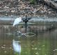 A White Egret perches on a log between meals. Taken October 10, 2020 Maus Park Lake, Dubuque by Deanna Tomkins.