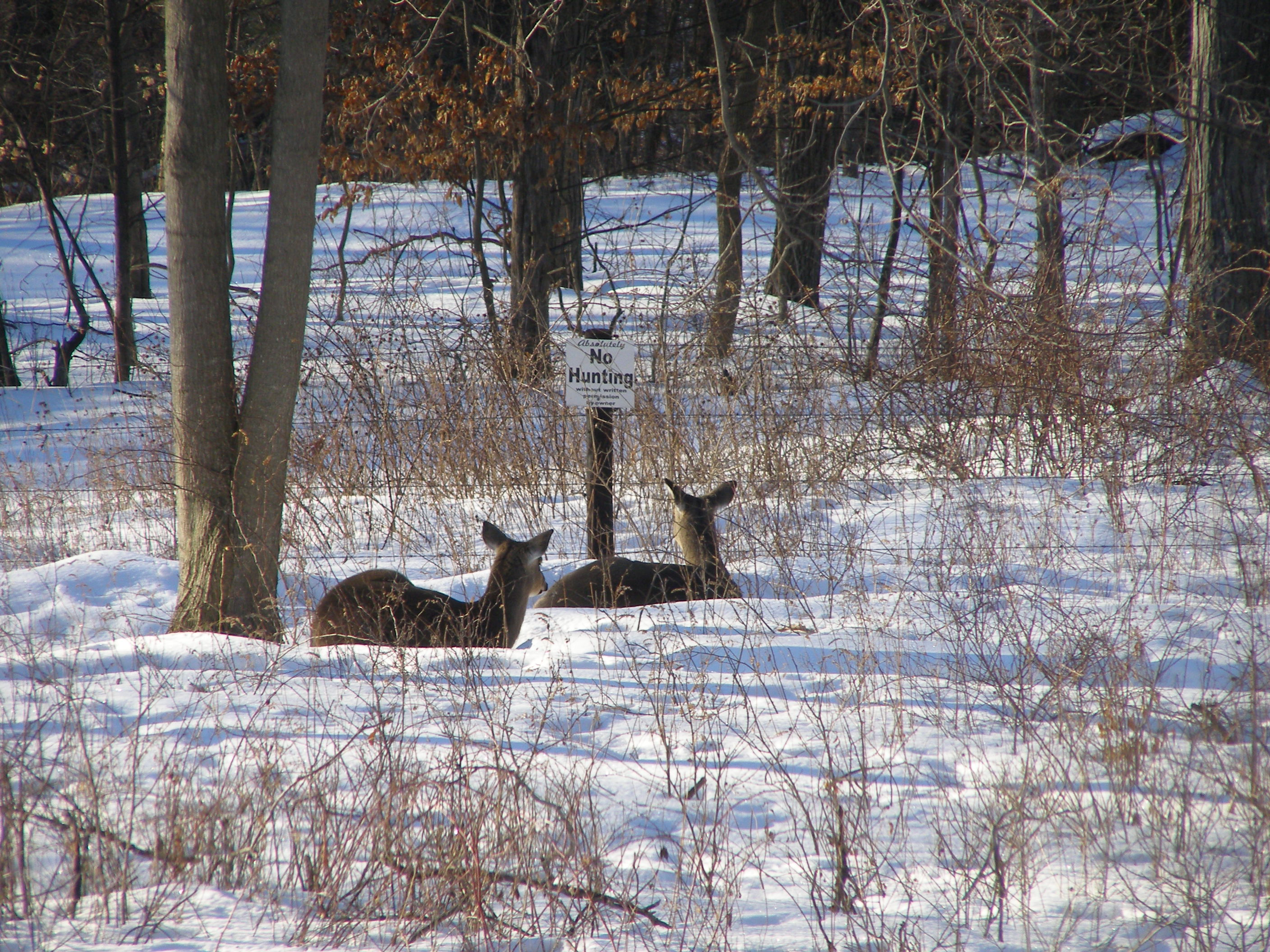 Deer reading No Hunting sign. Taken End of February In our backyard by Louis Manders.