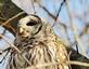 The face of a Barred owl.. Taken April 1, 2021 Dubuque, Iowa by Veronica McAvoy.