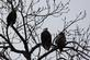 A convocation of three eagles sit high in the trees on a lake.. Taken February 17, 2017 O' Leary's Lake by Veronica McAvoy.
