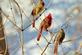 Three cardinals perch together.. Taken February 20, 2019 Swiss Valley nature center, Dubuque co., IA by Veronica McAvoy.