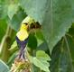 Goldfinch wonders what happened to the sunflowers claimed as own (chipmunk at it again). Taken August 19, 2016 Backyard by Deanna Tomkins.