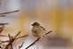 A house sparrow rests on a tree branch.. Taken Febraury 20, 2021 Bergfeld  pond, Dubuque co., IA by Veronica McAvoy.