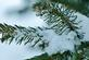 Water droplets form on the pine branches.. Taken February 21, 2021 Dubuque, Iowa by Veronica McAvoy.