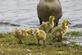 New spring babies!. Taken April 25, 2017 Mississippi river by Veronica McAvoy.