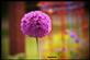 Allium in Bloom . Taken 5-27-20  Dubuque area  by Peggy Driscoll  .