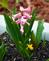 Hyacinth in Bloom . Taken 04-11-21 Dubuque area             by Peggy Driscoll           .