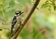 A downy woodpecker rests on a tree branch.. Taken October 5, 2019 Swiss Valley nature center, Dubuque co., IA by Veronica McAvoy.
