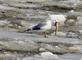 """""""Down the hatch""""--a seagull tries to swallow a big fish.. Taken March 8, 2021 Riverwalk, Dubuque, IA by Veronica McAvoy."""