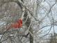 Cardinal. Taken yesterday on our deck by I did.