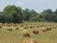 Rows of oat shocks ready for threshing.. Taken July 18, 2019 Near Oelwein, Ia. by Judy Lewis.