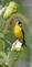 A goldfinch sticks close to the sunflowers. Taken in September at the butterfly garden in Bellevue by Lorlee Servin.