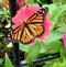 A monarch butterfly on a zinnia. Taken Oct 1, 2019 319 N Main St, Galena IL by Betsy Eaton.